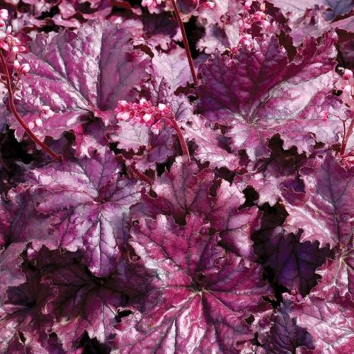 Гейхера Палас Пурпле бордовый лист