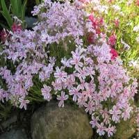 Флокс шиловидный розово-белый почвопокровник