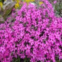 Флокс шиловидный розовый почвопокровник