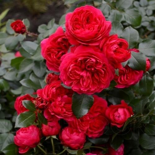 Роза флорибунда в ассортименте расцветок