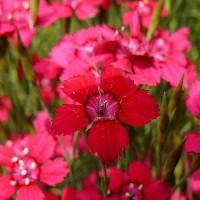 Гвоздика Травянка почвопокровник красный