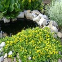 Вербейник монетчатый почвопокровник желтый