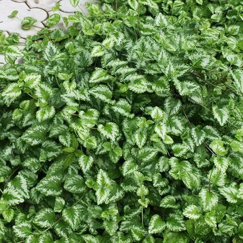 Зеленчук пестролистный желтый почвопокровник