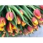 Тюльпан Henny Van Der Most (Хенни Ван Дер Мост) классический красно-желтый