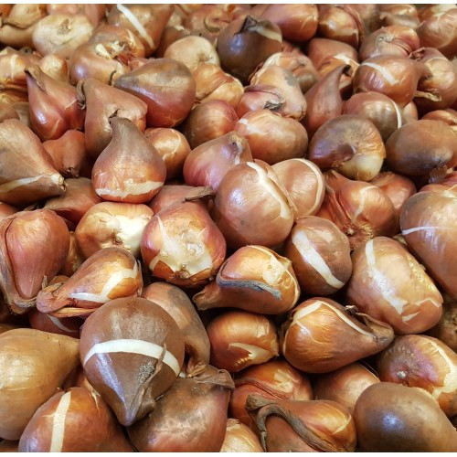 Луковицы тюльпанов для осенней посадки (красные, белые, желтые, фиолетовые, розовые, оранжевые)
