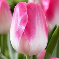Тюльпан Memphis (Мемфис) классический бело-розовый