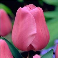 Тюльпан Milkshake (Милкшейк) классический нежно-розовый
