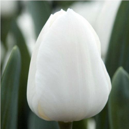 White Master (Вайт Мастер) классический белый