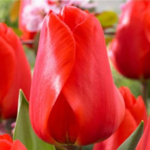 Тюльпан Lalibela (Лалибела) классический алый