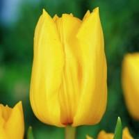 Тюльпан Strong Gold (Стронг Голд) классический желтый