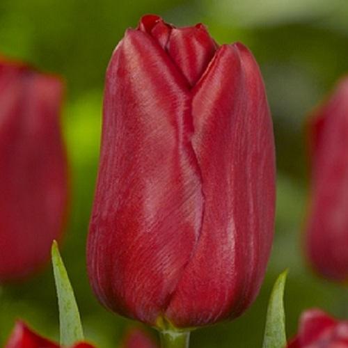 Тюльпан Strong Love (Стронг Лав) классический бордовый