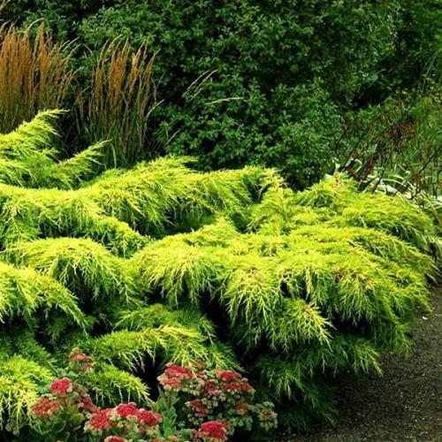 Можжевельник стелющийся Голд Кост (Juniperus Gold Coast 20-25см)
