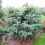 Можжевельник (Juniperus Meyeri 40-50см) голубой