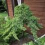 Можжевельник Блю Пацифик (Juniperus Blue Pacific на штамбе 60см) зелено-голубой