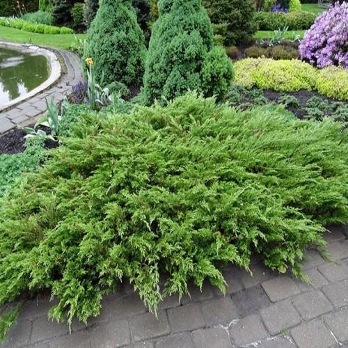 Можжевельник Сабина (Juniperus sabina 30-40см) зеленый