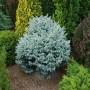 Ель Глаука Глобоза (Picea Glauca Globosa 25-30см) голубой