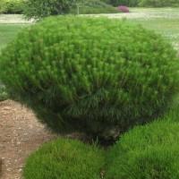 Сосна Алис Веркаде (Pinus Alice Verkade 30-40см) зеленый