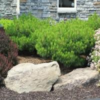 Сосна Джейн Клуис (Pinus Jane Kluis 30-40см) зеленый