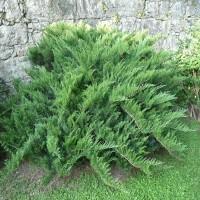 Можжевельник Сабина Тамарасцифолия (Juniperus sabina Tamariscifolia 25-30см) зеленый