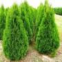 Туя Западная Смарагд (Thuja Smaragd 100-120см) зеленый