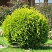 Туя шаровидная Вудварди (Thuja Woodwardii 40-50см) зеленый