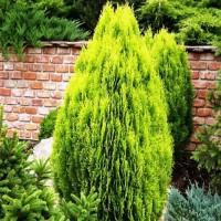 Туя складчатая Аурея Нана (Aurea Nana 30-40см) салатово-желтый