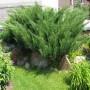 Можжевельник (Juniperus Mint Julep 30-40см) зеленый