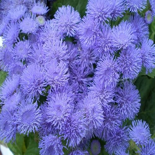Агератум Хоустона Перпл Блю (Purple Вlue) голубой