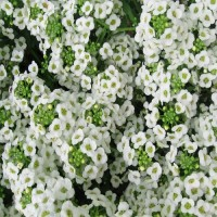 Алиссум Эстер Боннет (Easter Bonnet White) белый