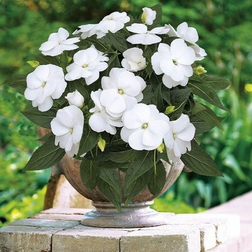 Бальзамин крупноцветковый Новогвинейский белый