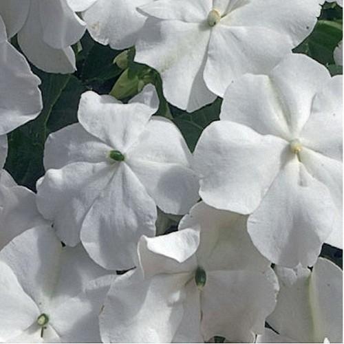 Бальзамин Уоллера (Xtreme White) белый