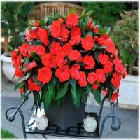 Бальзамин крупноцветковый Новогвинейский красный