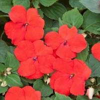 Бальзамин Уоллера (Xtreme Red) красный