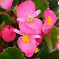 Бегония вечноцв-я зеленый лист Ambassador розовый