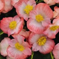 Бегония вечноцв-я зеленый лист Ambassador розово-белый