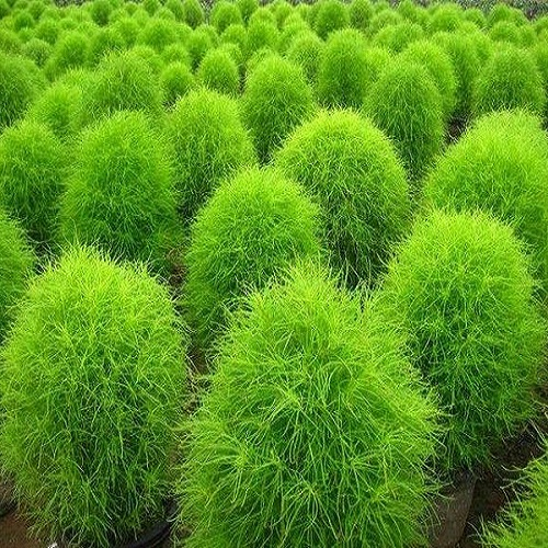 Кохия Венечная Трихофилла (Trichophylla) зеленый