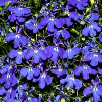Лабелия Ривьера Скай Блу (Sky Blue) голубой