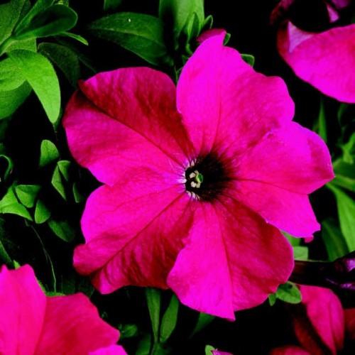 Петуния крупноцветковая Лимбо (Limbo Rose) розовый
