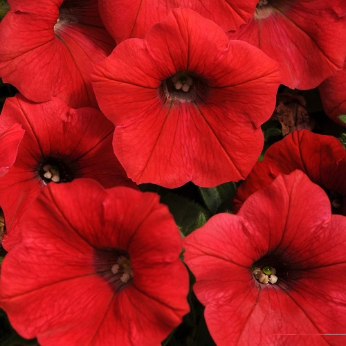 Петуния крупноцветковая Лимбо (Limbo Red) красный