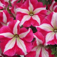 Петуния крупноцветковая (Rose Star) розовая звезда