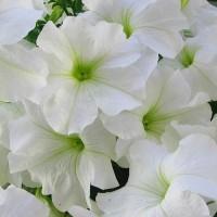 Петуния крупноцветковая Лимбо (Limbo White) белый
