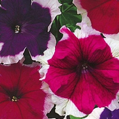 Петуния крупноцветковая Хула Хуп (Hula Hoop Mix) смесь окрасок с окантовкой