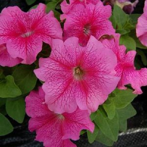 Петуния крупноцветковая Лимбо (Rose Veined) розовый с прожилками