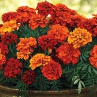 Тагетес откл-ный махровый (Бархотки) (French Marigold Fireball) красно-оранжевый хамелеон