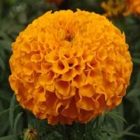 Тагетес прямостоячий Антигуа (Бархотки) (Antigua Orange) оранжевый