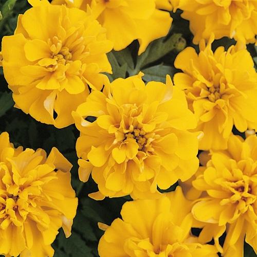 Тагетес откл-ный махровый (Бархотки) (Bonanza Gold) желтый