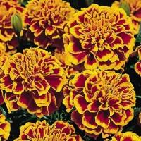 Тагетес откл-ный махровый (Бархотки) (Bonanza Flame) оранжево-красный
