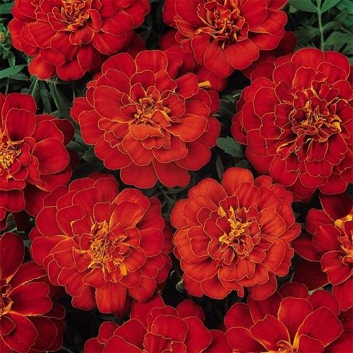 Тагетес откл-ный махровый (Бархотки) (Durango Red) красный