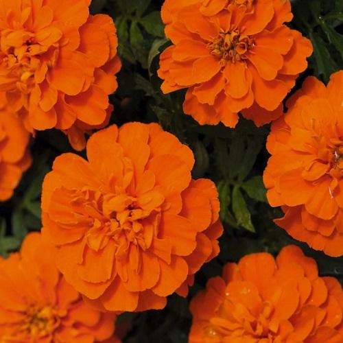 Тагетес откл-ный махровый (Бархотки) (Bonanza Orange) оранжевый
