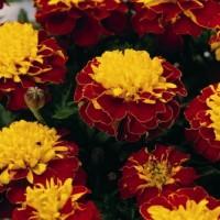 Тагетес откл-ный махровый (Бархотки) (Spry) красный с желтым